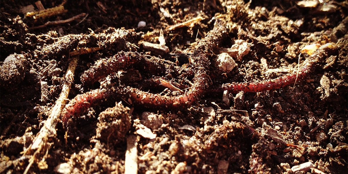 Earthworms For Composting And Gardening Rocky Mountain Organic